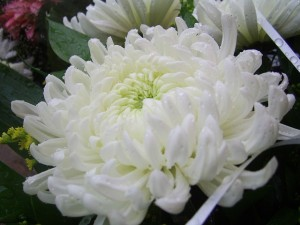 choosing flowers for a funeral service - chrysanthemum