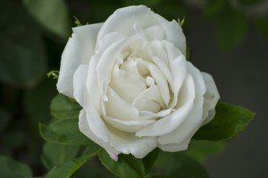 choosing flowers for a funeral service - white-rose